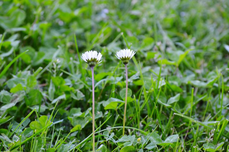 Daisy Two Grass Green White Flower Head Flower Petal Close-up Grass Plant Blooming Green Color In Bloom Plant Life Gerbera Daisy Grassland