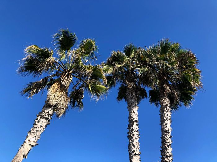 PALM TREE TRIO