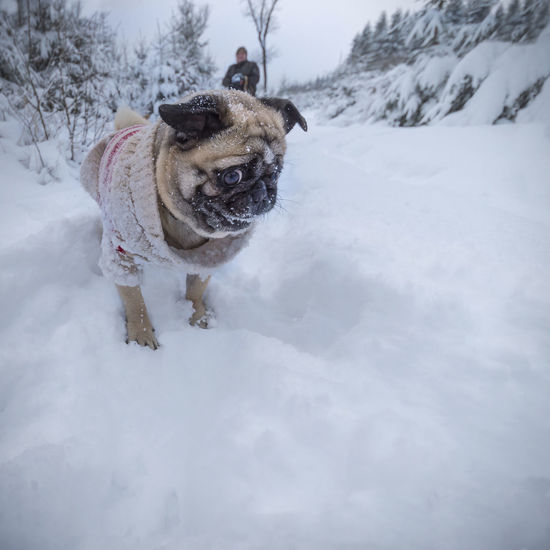 Dog (pug) with pullover eats snow during the winter walk Big Eyes Funny Pug Surprised Walk Winter Winter Walk Animal Clothes Chew Cord Pullover Dig Dog Dog Pullover Dogs Clothes Eat Expression Face High Snow Look Protection Pullover Snow Snowy Winter Forest Winter Wood Shades Of Winter