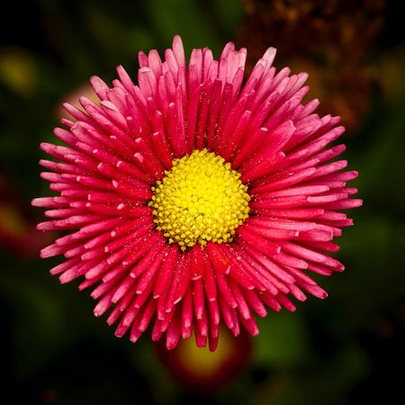 Red Daisy Daisy Flower Daisy Blooming Outdoors Plant Red Nature Close-up No People Focus On Foreground Flower Head Beauty In Nature Fragility Petal Flower Gänseblümchen Bellis Perennis Rotes Gänseblümchen Kulturgänseblümchen Blumen Blüte