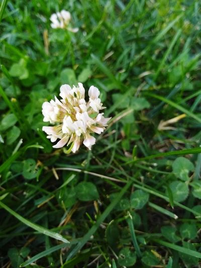 Clover Flower Head Flower Petal Insect White Color High Angle View Close-up Animal Themes Plant Green Color Pollination In Bloom Plant Life Tiny Blooming