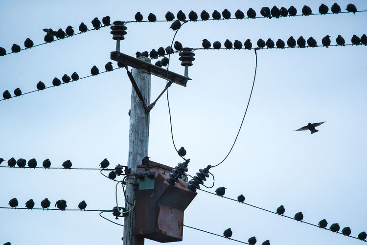 Animal Themes Animal Wildlife Animals In The Wild Bird Clear Sky Day Flock Of Birds Large Group Of Animals Low Angle View Nature No People Outdoors Perching Sky Technology Telegraph Pole