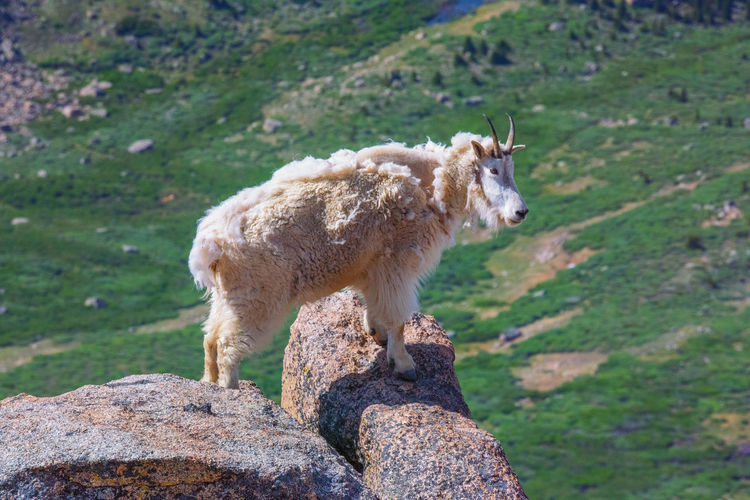 Jul 2019 - Mountain Goat on Mt Evans, Colorado Mammal Animal Themes Animal Domestic One Animal Vertebrate No People Rock - Object Rock Standing Grass Solid Animal Wildlife Herbivorous Field Nature Land Profile View Rocky Mountains USA