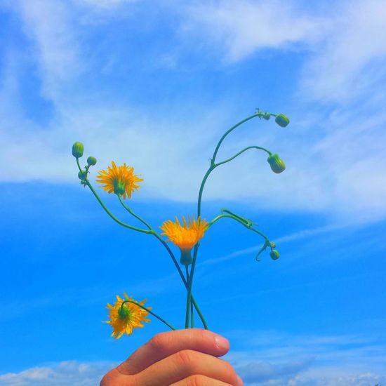 Dandelions Summer