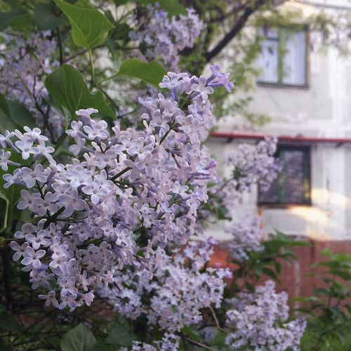 Flower Growth Fragility Nature Blossom Tree No People Beauty In Nature Botany Springtime Day Focus On Foreground Outdoors Branch Petal Freshness Plant Building Exterior Close-up Blooming