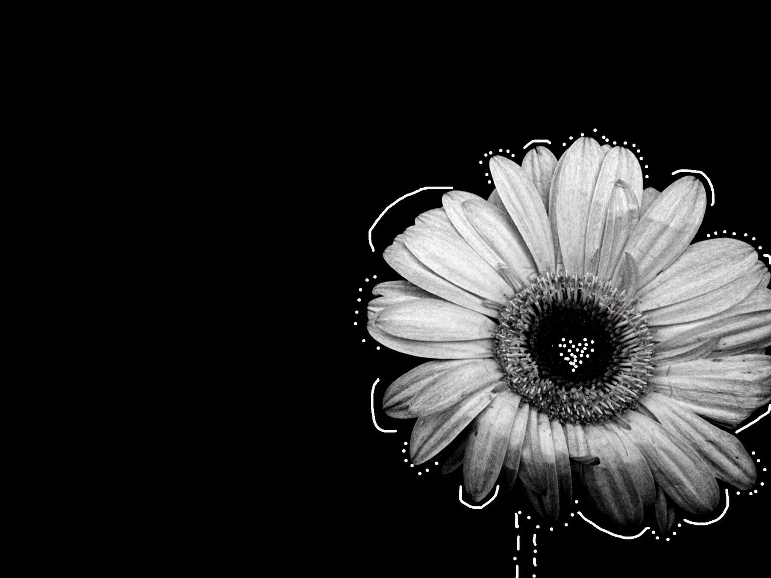 studio shot, black background, copy space, flower, close-up, fragility, flower head, petal, single flower, no people, cut out, freshness, beauty in nature, night, clear sky, single object, nature, pollen, simplicity, white color