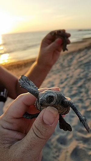 baby turtles Turtles Releasing Turtle Baby Hatchling Sea Turtle Mexico Puerto Vallarta Beach Sea Human Hand One Animal One Person Holding Animal Themes Sand Outdoors Close-up Nature Sea Life