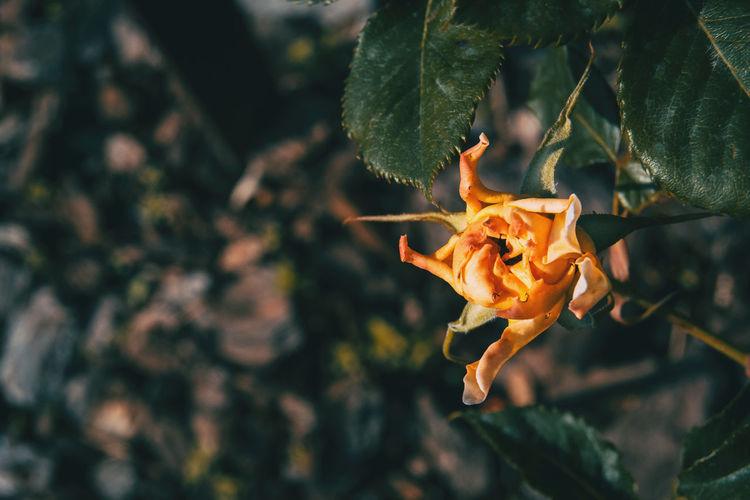 Close-up of orange rose leaves