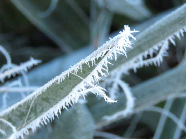 No People Nature Day Close-up Beauty In Nature Plant Leaf Plant Part Green Color Growth Spears Frosty Spear Frosty Morning. Art In Nature Artistic Plant Frost On Plant Yucca Plant Threads Crazy Plant Pokey Plant