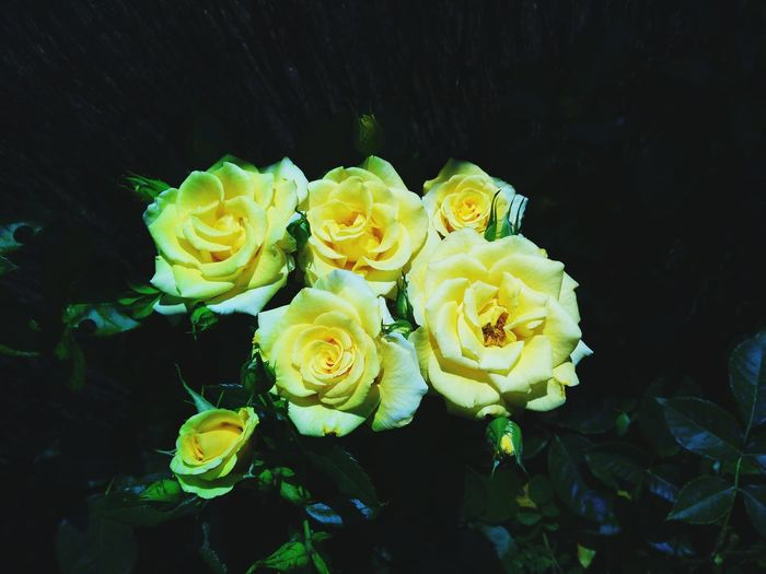 Nature Beauty In Nature Flower No People Roses, Yellow Roses