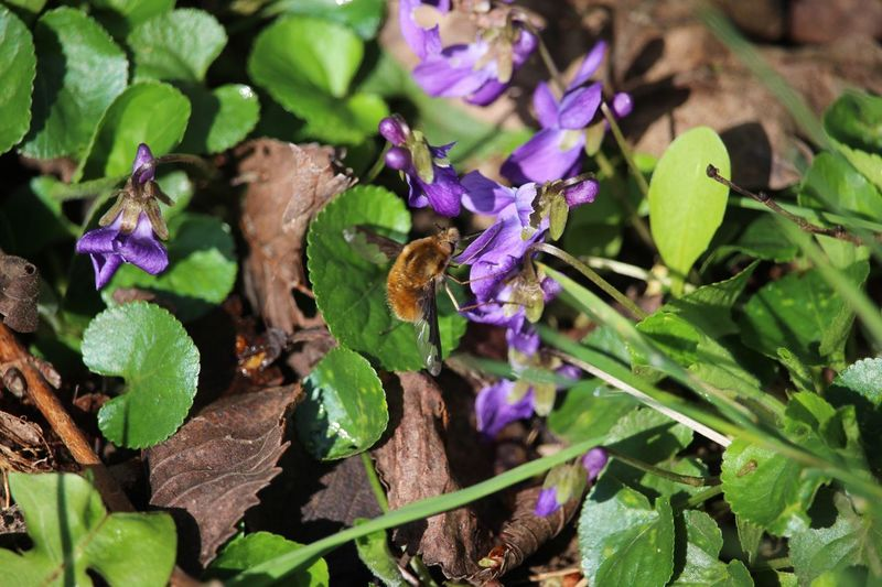 Butiner Bee Bee 🐝 Spring Violettes Plant Flowering Plant Growth Beauty In Nature Purple Fragility Nature One Animal Petal Animals In The Wild Insect