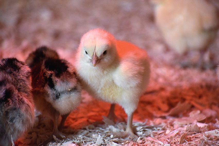 Baby Chicks under heat lamp Animal Themes Animal Bird Vertebrate Young Bird Group Of Animals No People Domestic Livestock Domestic Animals Young Animal