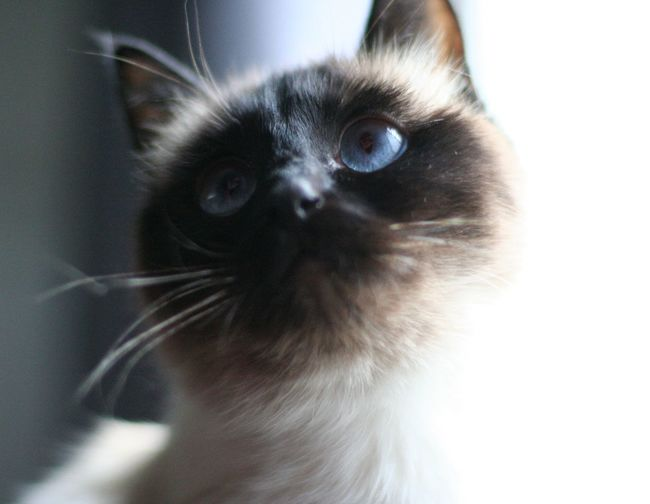 let the soft animal inside you love what it loves. Cat♡ Pets Close-up Animal Themes Siamese Cat Mycat Blue Eyes Love Lookingup Looking Into The Future Domestic Cat One Animal
