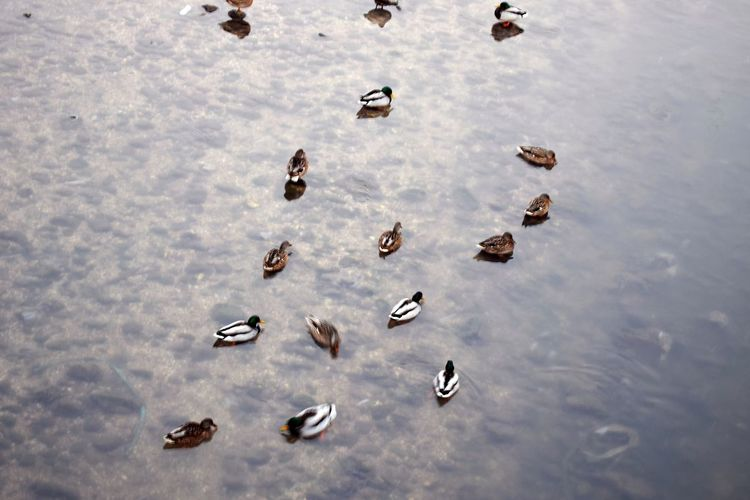 Everyday-sign.Animal Themes Animals Backgrounds Day Dreamy Duck Ducks Floating On Water From Above  High Angle View Large Group Of Animals Large Group Of Objects Nature No People Outdoors River Riverscape Riverside Rocks Rocks And Water Small Animals Water Water Reflections Wintertime Adapted To The City