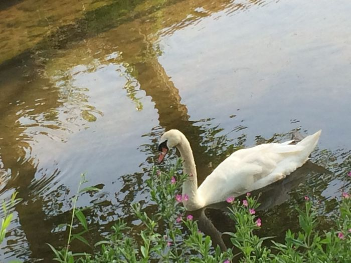 Water Animal Themes Animal Lake Vertebrate Bird One Animal Animals In The Wild Animal Wildlife Swan Nature Reflection Water Bird Day Swimming No People Plant White Color Zoology Floating On Water Animal Neck Cygnet
