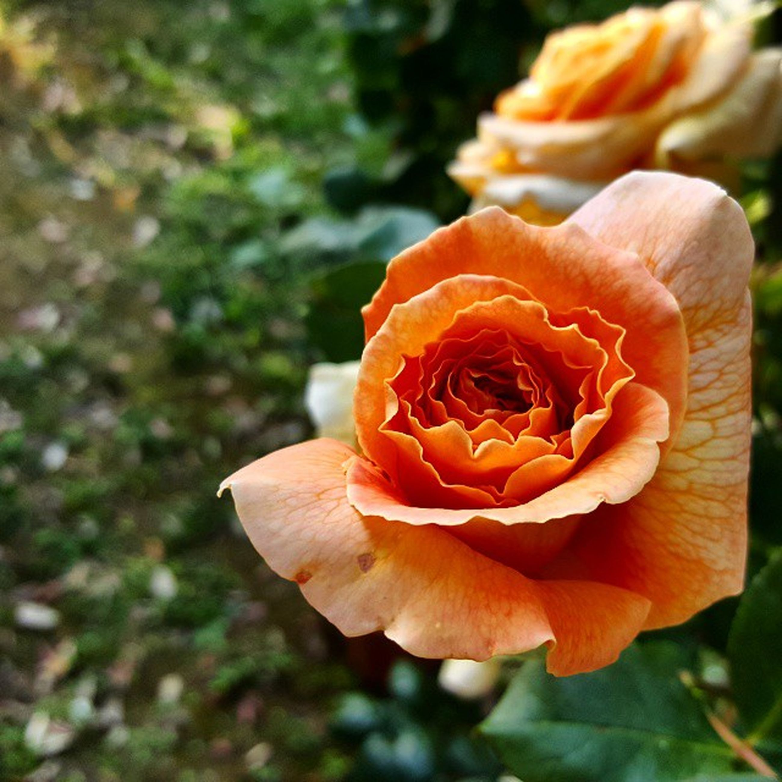 flower, petal, freshness, fragility, flower head, orange color, growth, beauty in nature, close-up, focus on foreground, nature, blooming, single flower, plant, rose - flower, no people, in bloom, outdoors, day, botany