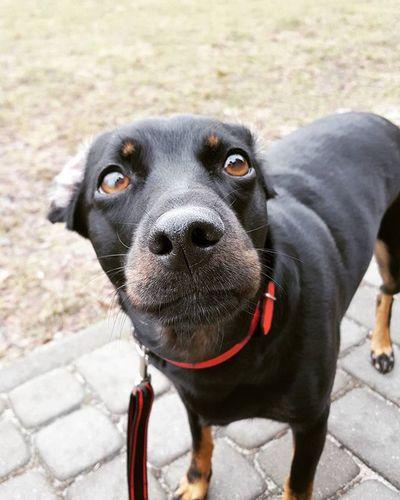 Dog Dogeyes Dogmodel Doginstagram Instadog Photodog Dogphoto Doginsta Pies Piesinst Bestdogmodel Majapies Maja @sebastian.wojnicki