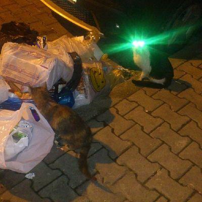 Fosforlu Kedi G özleri Cat gece çöpçükankalar greeneye animal istanbul turkey yeşilova