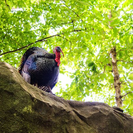 When I look at this strange bird I see stuffing, mashed potatoes/gravy, green bean casserole, cranberry sauce, and pumpkin/apple pie... (Thanksgiving dinner for those unfamiliar) Nature Photography EyeEm Nature Lover Nature Eye4photography  Animal Animal Photography Turkey Animals Birds Fall Beauty