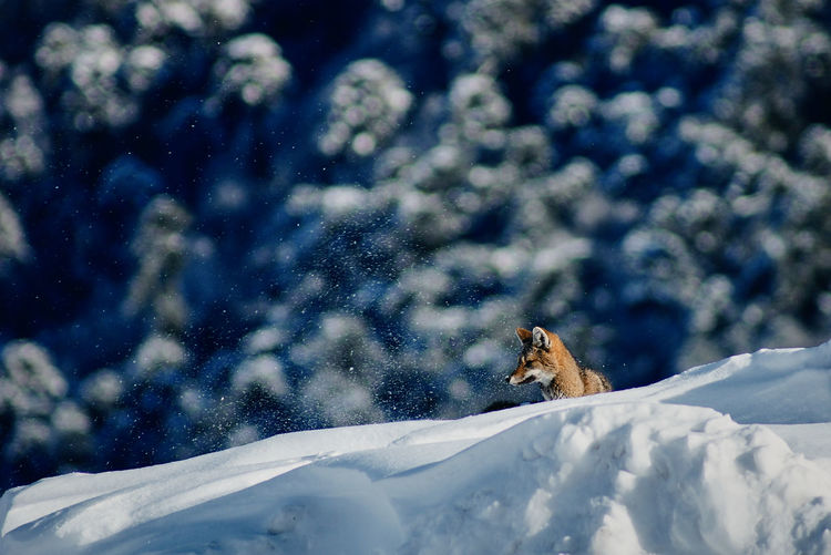 Wildlife... Animal Animal Themes Animal Wildlife Animals In The Wild Beauty In Nature Cold Temperature Day Focus On Foreground Fox Mammal Mountain Nature No People One Animal Outdoors Rodent Scenics Side View Snow Snowcapped Mountain Tourism Travel Destinations Vertebrate Wildlife Winter