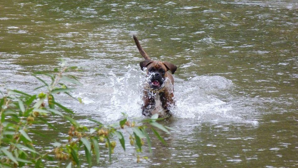 Jakob Boxer Dog Fun Water Splash Dog❤ Playing Dogs Boxerlove