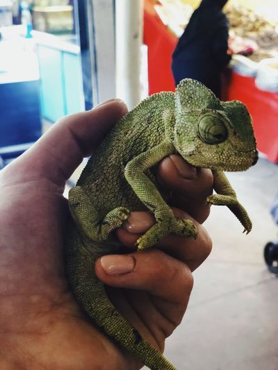 Close-up of hand holding lizard