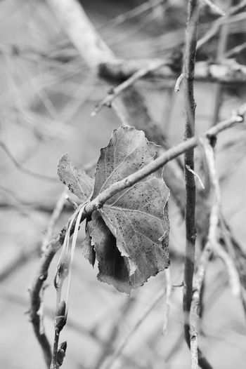 Leaf hung up on small branch Lingle Wyoming Beauty In Nature Dried Dry Leaf Vein Leaves Nature Outdoors