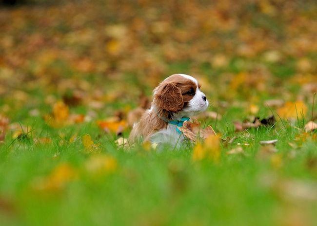 Little Baby in Big World Cavalier King Charles Spaniel EyeEm Best Shots - Autumn / Fall Puppy Cavalier Ckcs Puppy Dog