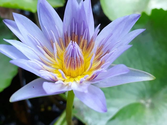 Flower Head Flower Petal Lotus Water Lily Water Close-up Plant Passion Flower Day Lily Water Lily