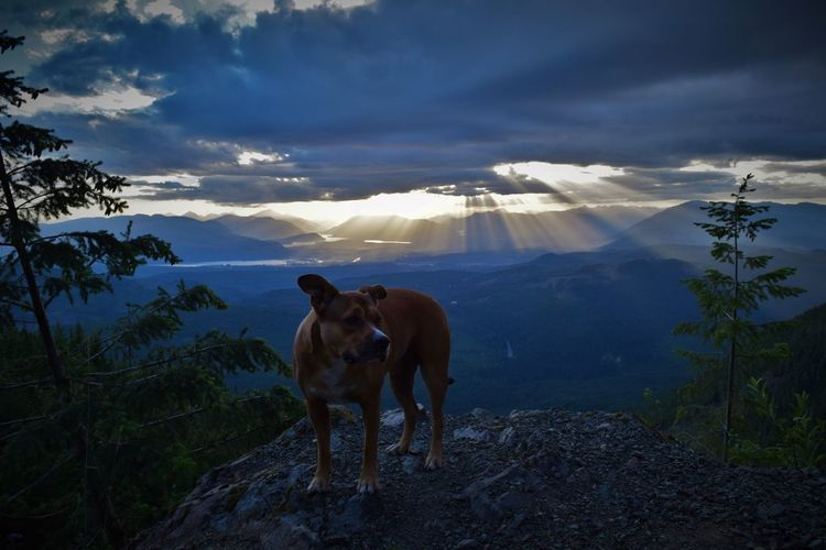 Brown dog on mountain against cloudy sky at sunset