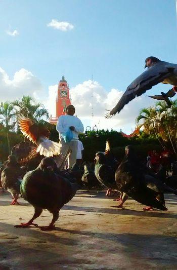 El señor de las palomas en Mérida, Yucatán Plaza Birds Mexico Ciudad Domingo Sunday