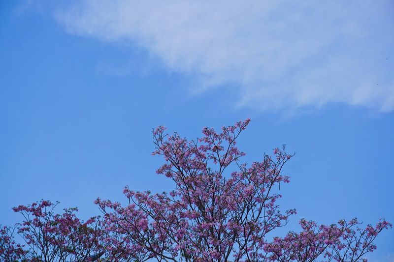 Pink Trumpet Tree Blue Sky Background Tree Nature Sky Beauty In Nature Flower Outdoors Branch Bloom Spring Springtime Pink Flowers Fragility Freshness