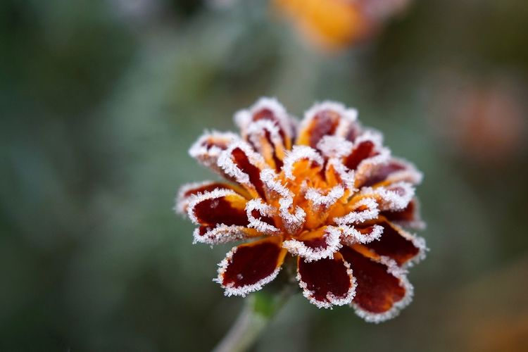 Close-up of frosted flower