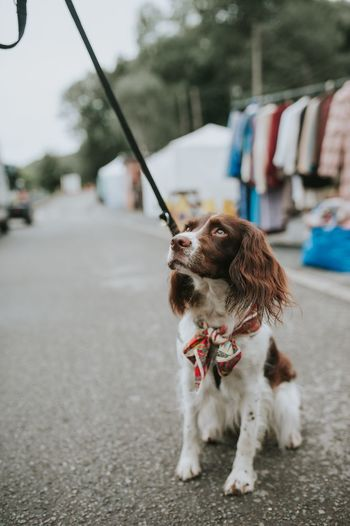 EyeEm Selects Dog Pets Street Focus On Foreground Outdoors One Animal Domestic Animals Dogs Dogs Of EyeEm Animal Springer Spaniel Lead