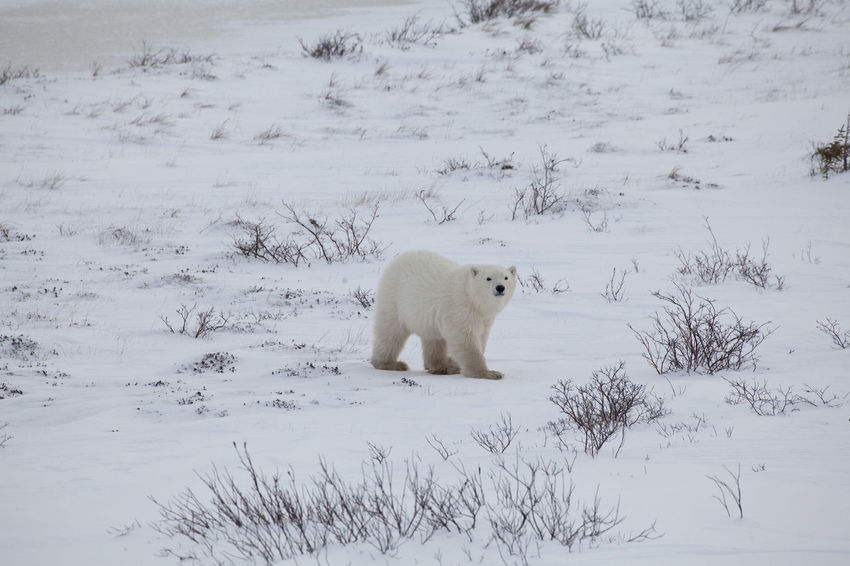 Plar Bear is walking in snowy landscape CHURCHILL Endangered Species Hudson Bay Ice Animal Themes Animal Wildlife Animals In The Wild Bear Canada Cold Temperature Day Full Length Mammal Nature North Polar Sea One Animal Outdoors Polar Bear Snow Threatened White Color Winter