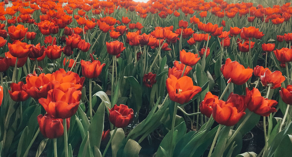 Red tulip field. Flower Tulip Red Field Blossom Beauty In Nature Flora Green Leaves