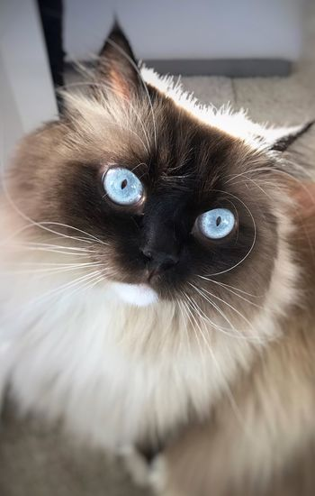 Domestic Cat Feline Pets Domestic Animals Whisker Animal Themes Mammal Indoors  Animal Head  One Animal Home Interior No People Siamese Cat Portrait Close-up Day