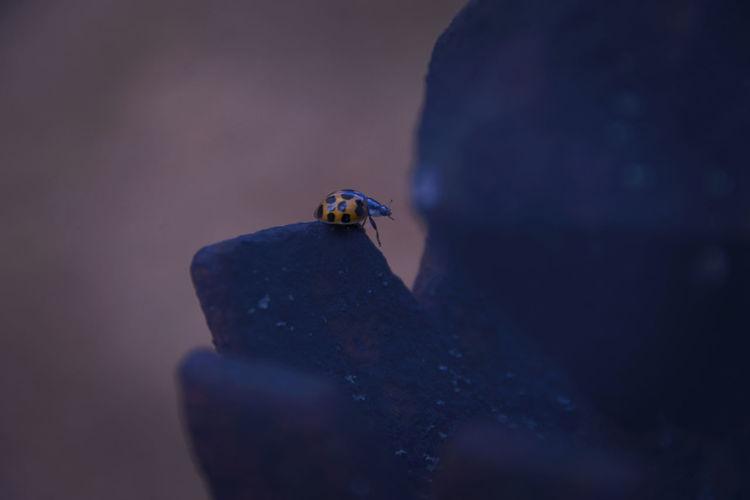 anasian ladybug