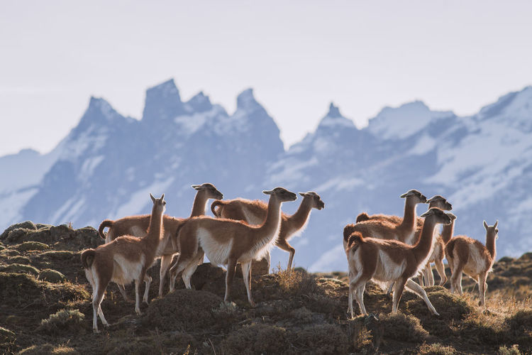 Guanaco grazing on grass against sky