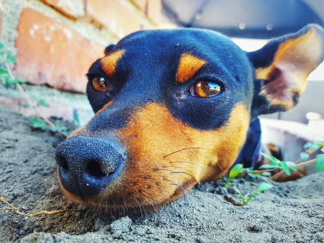 Snoop Decided To Find A Shady Hole To Relax! Showcase July Service Animals Service Dogs Therapy Dogs Rescue Dogs Pet Portraits Pets Family Pet Minpins Animals Eye4photography  Pet Photography  EyeEm ForTheLoveOfPhotography Perspective From My Point Of View Dogs Close-up Macro Eyeemphotography Outdoors Nature Dogs Life Tiny Dogs Animal Photography