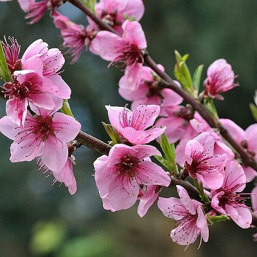 Flowers, Nature And Beauty Peach Blossom Peachtree