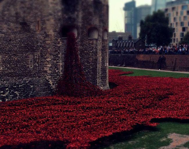 Poppies in London London Poppy Flowers