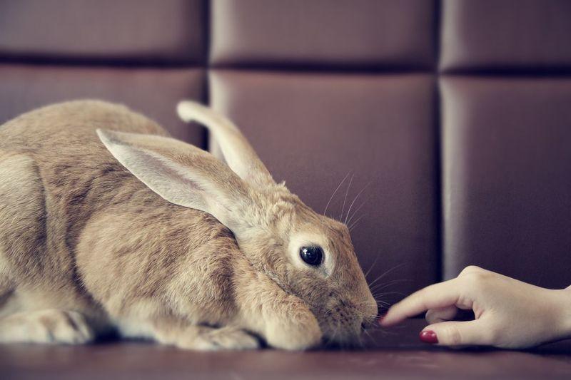 Cropped hand of woman touching rabbit at home