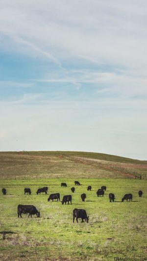 Cows California