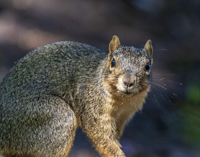 A surprised squirrel. Squirrel Sciuridae Rodent Tree Rat Mammal Animal Wildlife Outdoors Furry Staring Brown Nature Creature Fauna Whiskers One Animal Animal Themes Animal Wildlife Animals In The Wild Close-up No People Vertebrate Portrait Looking At Camera Whisker Animal Head