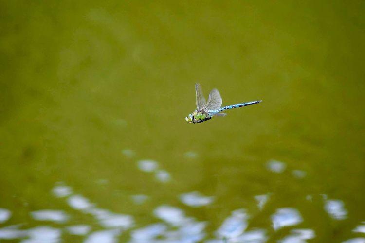 EyeEm Selects Dragonfly In Flight Green Water