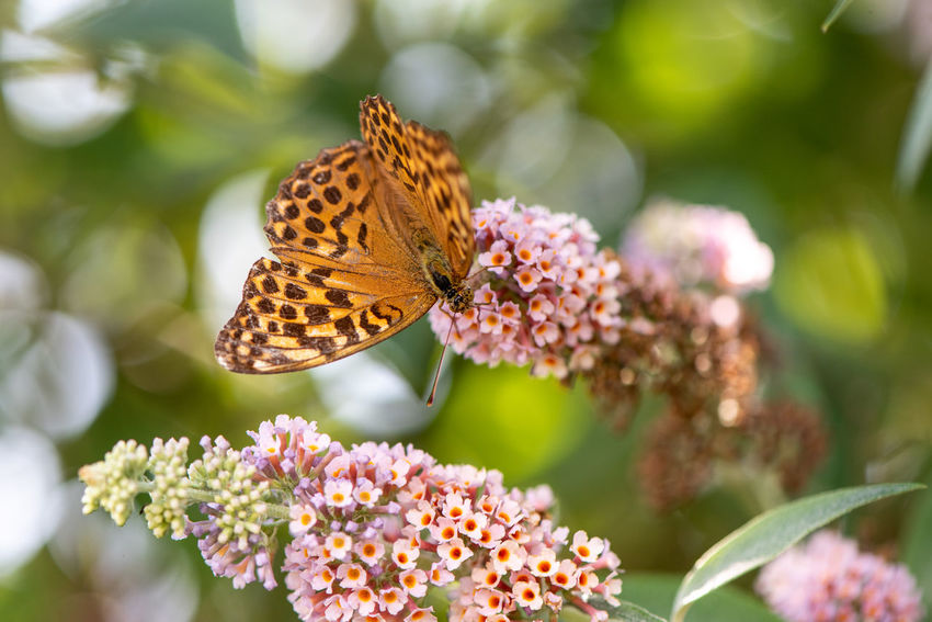Argynnis Paphia Freshness Silver-washed Fritillary Summer Views Animal Animal Themes Animal Wildlife Animal Wing Beauty In Nature Blossom Buddleia Butterfly Butterfly - Insect Close-up Flowering Plant Fragility Growth In Bloom Insect Invertebrate One Animal Plant Pollination Symbiotic Relationship Vulnerability