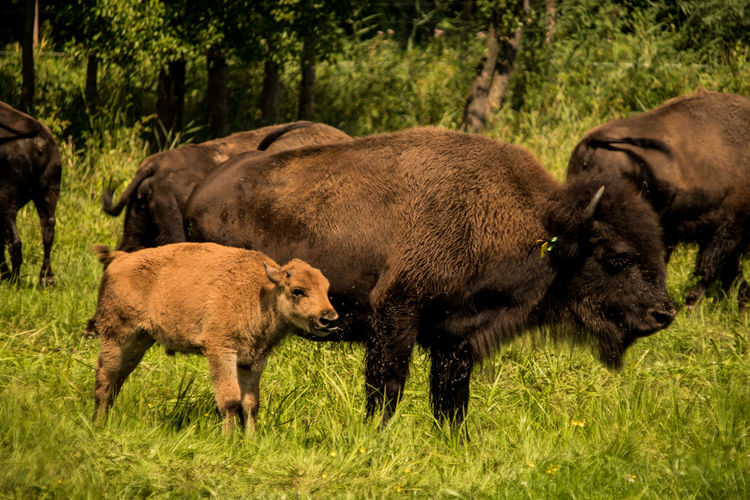 Bison EyeEm Nature Lover Nature Photography Poland Poland Is Beautiful American Bison Animals Animals In The Wild Bisons Eye4photography  Grass Group Of Animals Mammal No People Young Animal
