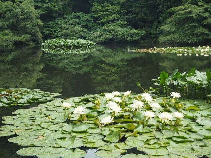 Ultimate Japan Lotus Pond Lotus Leaf Lotus Leaves Pond Summer Garden Plants Plant Flower Lotus Flower Clear Water Meiji Shrine Japan Japanese Garden Japanese  Meijishrine Summer Japan Photography Tokyo,Japan Tokyo Nature_collection Nature Photography Vacation Vacation Time