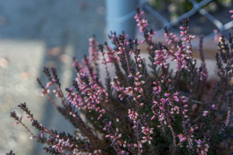 Clusters of small pink flower buds shot close up on deep green spike branches in spring